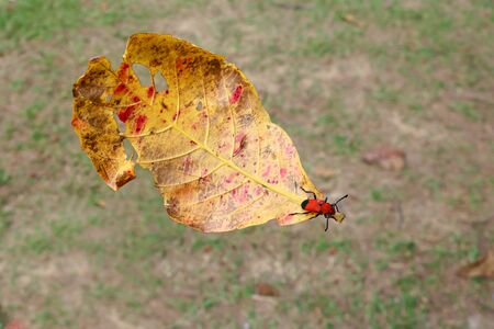 milkweed: Insect perched on fallen leaves. Stock Photo