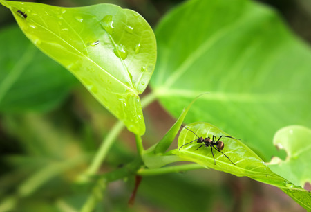 Black ant with rain drops on the leaves.