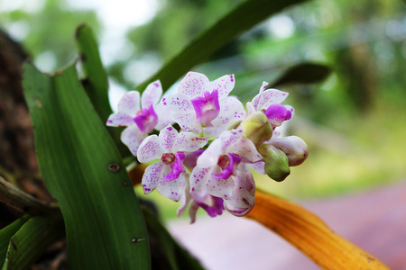 gigantea: Rhynchostylis gigantea Orchid Stock Photo