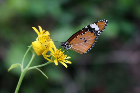 The little yellow spider attacked butterfly.