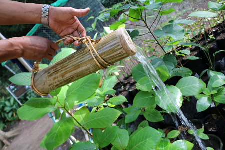 Gardener use the nature bamboo can to watering in the garden