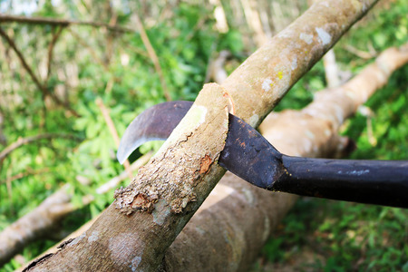 The workers are using a big knife to cut the rubber tree.