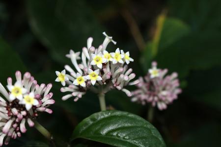 Ixora flower.