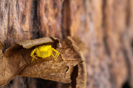 misumena: The little yellow spider,Butterfly hunter