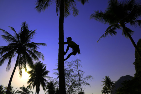 Man climbing coconut trees to harvest the morning