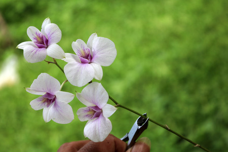 pruning scissors: Pruning shears,Scissors cut the orchids in the garden. Stock Photo