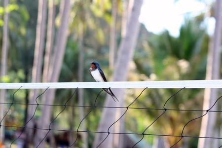 swallow bird: Barn Swallow,bird on the net. Stock Photo