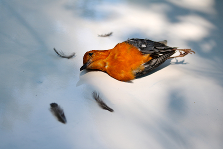 ead: Dead birds on the ground becausefly into theglass. Orange-headed Thrush. Stock Photo