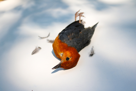 Dead birds on the ground becausefly into theglass. Orange-headed Thrush. Stock Photo