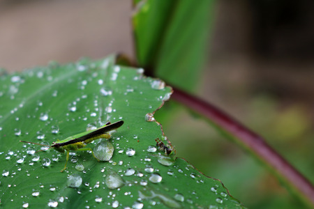 Grasshopper with raindrops on a leaf.