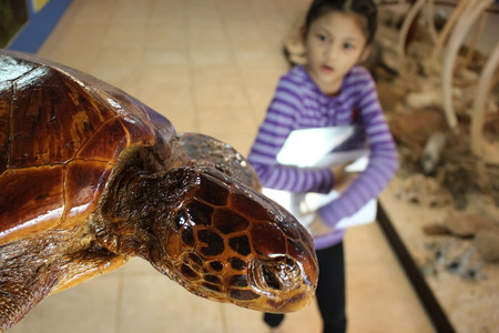 Sea turtles stuffed and the children are interested in the museum. Stock Photo