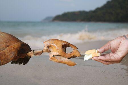 Do not feed marine life,Hand feeding bread to the skeleton sea turtles. Stock Photo