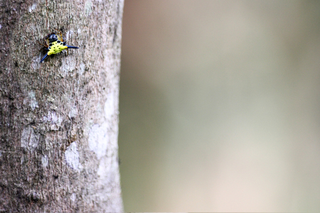 arcuata: Horned spiny spider on the trees in the garden. Stock Photo