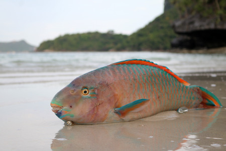 Dead parrot fish on the beach.