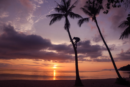 Man climbing coconut tree to harvest in the garden with sunrise background on the beach.