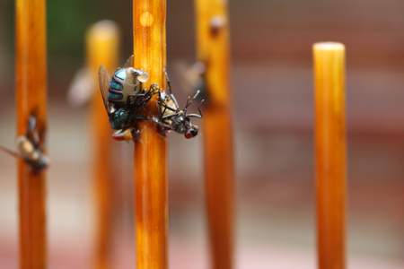 ploy: Fly stuck on glue traps on the dining table. Stock Photo