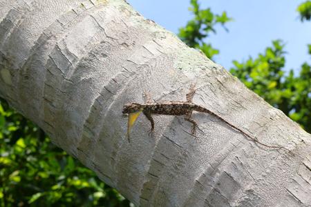 Flying lizard,Draco fimbriatus on the coconut tree. Stock Photo