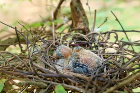 pigeon egg: Pigeon birds nesting in the garden