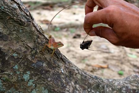 cigarra: Alimentar a los insectos a los lagartos en el jardín.