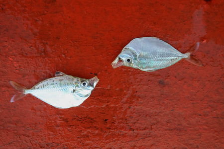 commercial fishing: Dead fish on the stern of sailing boat in the sea.