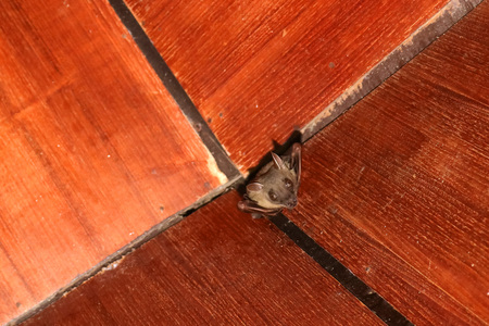 Bat on the wooden ceiling in the house. Stock Photo