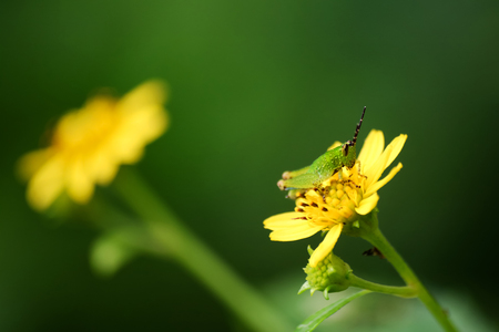 Green glasshopper on the yellow flower in the garden.Nature and animals in Thailand.