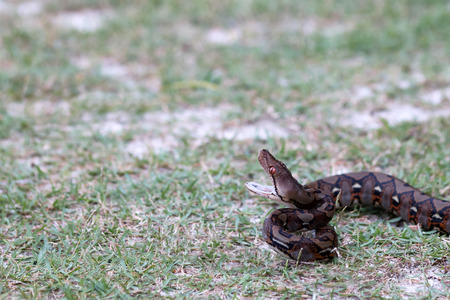 Python snake opening its mouth to fight on the grass in the garden.