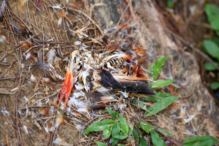 Feathers and carcasses of black-backed Kingfisher bird dead on the grass in the garden