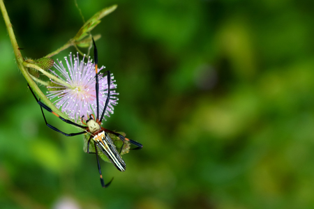 Beautiful spider onsensitive or sleepy plant in the garden. Stock Photo