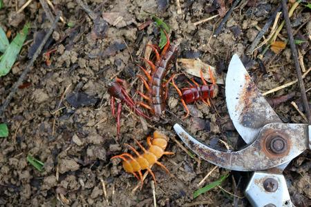 Gardener a centipedes poisonous animals in the rainforest garden Stock Photo