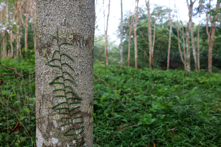 Vine or creeping plant climber on the tree in the rubber plantation Stock Photo