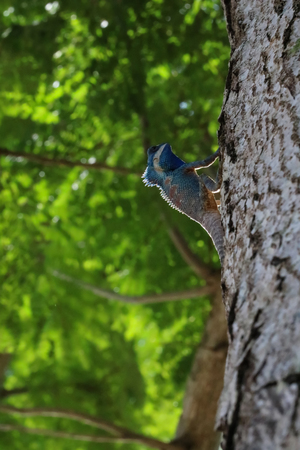 Blue-crested or Indo-Chinese Forest Lizard on a tree in the garden with nature background