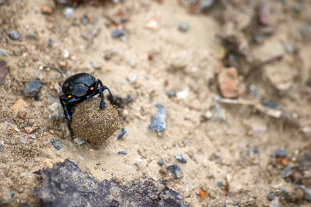Black beetles rolling a ball of soil in the garden.Nature background.