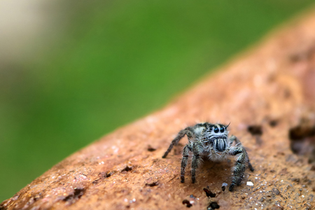 Hyllus diardi is a genus of the spider family Salticidae ,jumping spiders in the garden