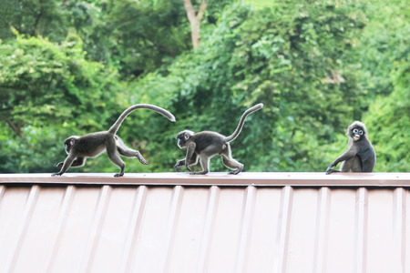 Leaf monkeys are jumping on the roof, Dusky Langur species in Thailand