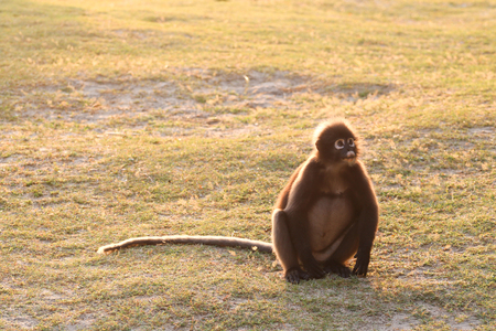 Monkey sitting on the beach with the sunlight reflection in the morning,Dusky langur at Ang Thong Island in Thailand