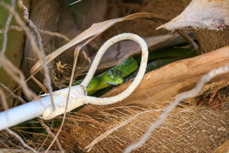 Snake Catcher Stick Tool Equipment catch the Green Cat Snake hides in coconut trees. Wilds animals in Thailand. Boiga cyanea  species.