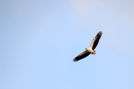 Aerial view of White-bellied Sea Eagle, Birds flying in the sky against a background of the sea and islands.