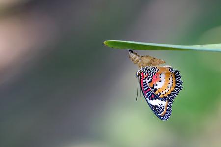 Leopard Florfliege Schmetterling thront auf Chrysalis im Garten. Standard-Bild