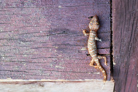 Ants swarm eats the carcasses of dead gecko in the house.