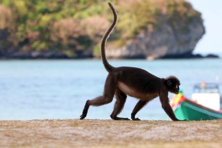 Dusky langur or leaf monkey walking on the beach at tropical island in Thailand Stock fotó