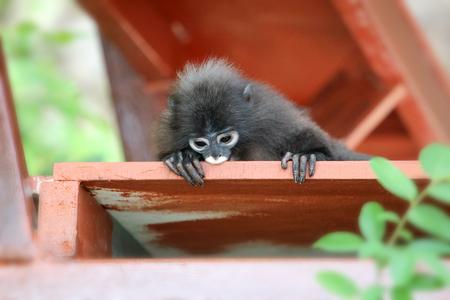 Cute Monkey or Dusky langur sitting on the balcony or  terrace in the garden in Thailand Stock fotó