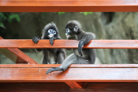Cute Monkey or Dusky langur sitting on the balcony or 