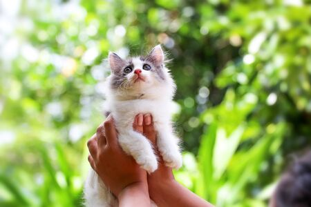 Beautiful kitten on the palm, Asian woman is stroking a small kitten. Stok Fotoğraf