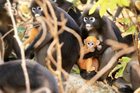 Animals with their babies, Yellow baby of Leaf Monkeys or Dusky Langur and mother who are living in the forest in Thailand