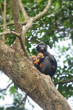 Yellow twins baby of Leaf Monkeys or Dusky Langur and mother who are living in the forest, Animals with their babies in Thailand