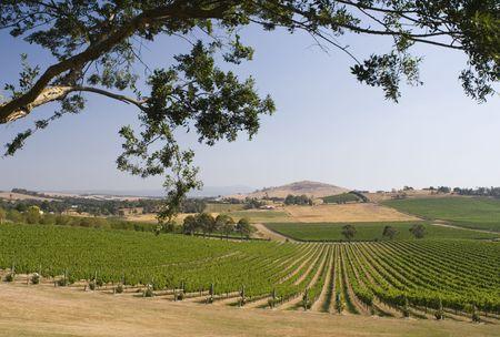 overlooking: Overlooking a Vineyard in Australia