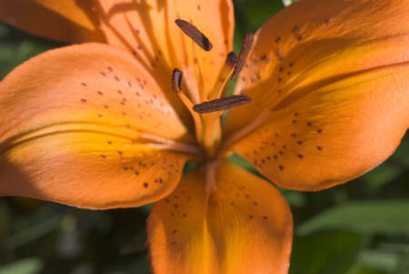 colour intensity: A lily in full Summers Bloom