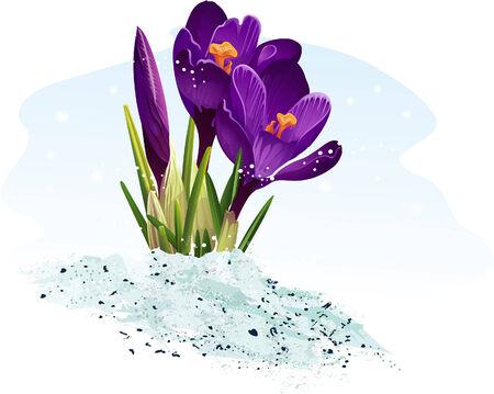 burgeon: Purple crocus on a blue background  Illustration