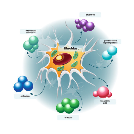 Structure of fibroblast cells